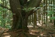 large_tree_mhm