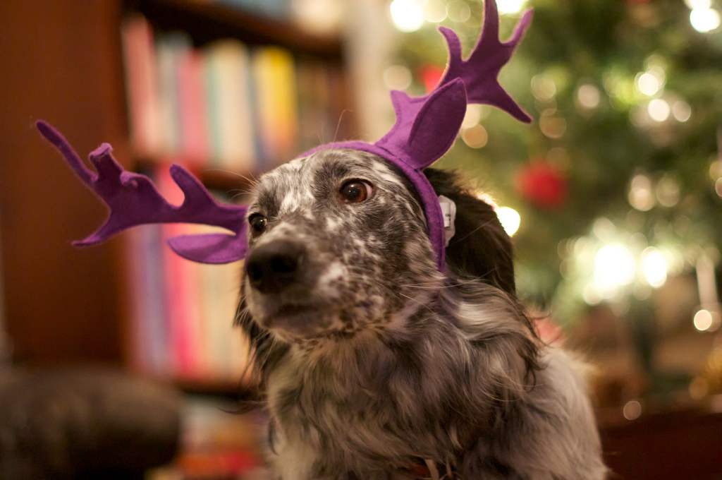 Dog wearing holiday antlers