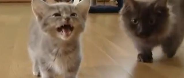 Cute kittens mewling for mum.