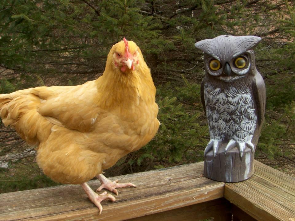 Chicken Rescue and Sanctuary