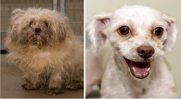 AHS Granted Custody of Shih-Poodles From March 24th Cruelty Case