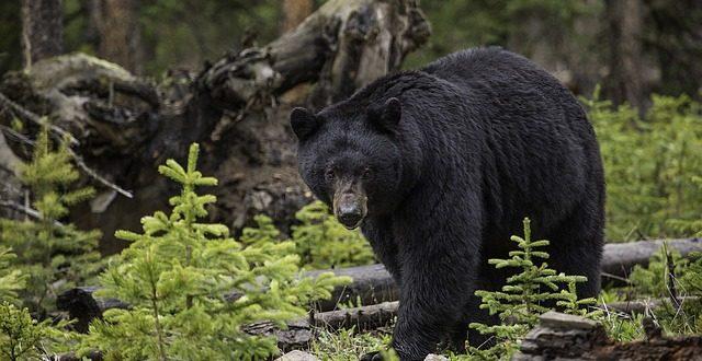 black-bear-1170229_640