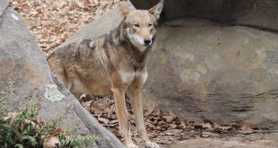 WNC Nature Center Welcomes New Red Wolves