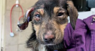 PUPPY COVERED IN CHEMICAL BURNS CARED FOR BY BROTHER WOLF ANIMAL RESCUE; POLICE SEEK ABUSER