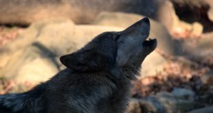 Fall Events Announced at the WNC Nature Center: Wolf Howls and Junior Wolf Howls