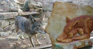 An Intergenerational Effort to Save the American Red Wolf